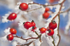 Rose hip with ice crystals Stock Images