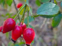 Rose hip in the middle of nowhere royalty free stock image