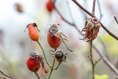 Rose hip plant branch growing in forest. Defocused closeup view royalty free stock images