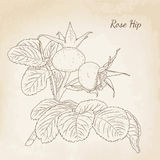 Rose hip plant with ripe berries leaves isolated. Rose hip plant with ripe berries and leaves. Isolated closeup macro detailed botanical drawing. Vector design Royalty Free Stock Photo