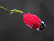 Rose hip with rime frost Stock Photo