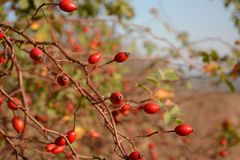 Rose hip, ripened red berries on branches. Closeup Royalty Free Stock Image