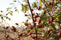 Rose hip, ripened red berries on branches. Closeup Royalty Free Stock Photos