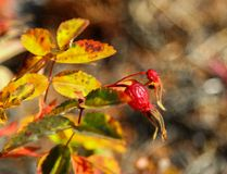 Rose Hip Berries in Autumn in Alaska. The rose hip or rosehip, also called rose haw and rose hep, is the accessory fruit of the rose plant. It is typically red stock image