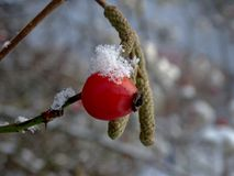Rose hip with snow Stock Photo
