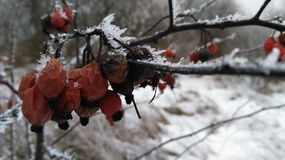 Rose hip in snow Royalty Free Stock Images