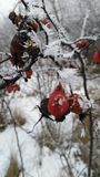 Rose hip in snow Stock Photo