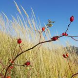 Rose hip in tall grasses Stock Image