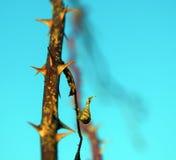 Rose Hip Thorns stock foto's