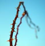 Rose Hip Thorns royalty-vrije stock afbeelding