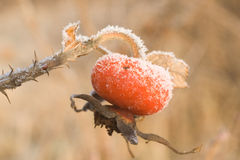 Rose-hip under frost Stock Image