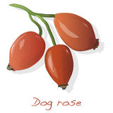 Rose hip vector isolated. Rose hip vector isolated on a white background Royalty Free Stock Photography