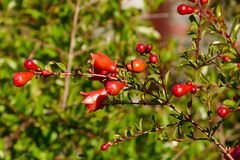 Rose Hip, Vegetation, Plant, Berry stock photography