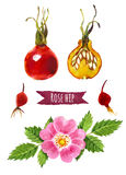 Rose hip, watercolor illustration,  clipping path included. Rose hip, hand-painted watercolor set, clipping paths included Royalty Free Stock Images