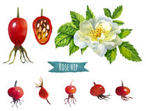 Rose hip, watercolor illustration,  clipping path included. Rose hip, hand-painted watercolor set, clipping paths included Stock Photography