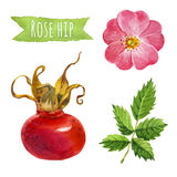 Rose hip, watercolor illustration,  clipping path included. Rose hip, hand-painted watercolor set, clipping paths included Royalty Free Stock Photo