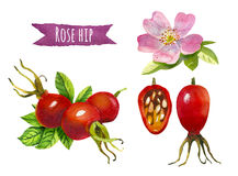 Rose hip, watercolor illustration,  clipping path included. Rose hip, hand-painted watercolor set, clipping paths included Stock Photo