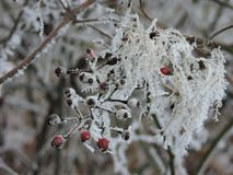 Rose hip in winter royalty free stock photo