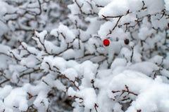 Rose hip in winter Stock Image