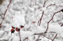 Rose hip in wintertime Stock Image