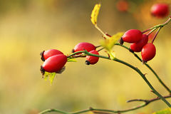 Rose hip. For your design Royalty Free Stock Image