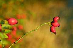 Rose hip. For your design Royalty Free Stock Photos