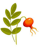 Rose hip1. Royalty Free Stock Photos