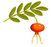 Rose hip2. Rose hip. Isolated on the white. Vector illustration Royalty Free Stock Photos