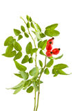 Rose hips. Branch of rose hips on white background (Rosa canina) with c/p stock images
