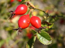 Rose Hips. On a wild rose bush in fall stock photo