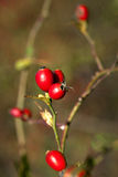 Rose hips Stock Image