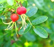 Rose-hips. Two red ripe rose-hips in the for-ground with generic foliage beyond Stock Images