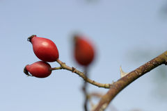 Rose hips. Fruit of rose on branch Royalty Free Stock Photography