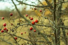 Rose hips Royalty Free Stock Photo