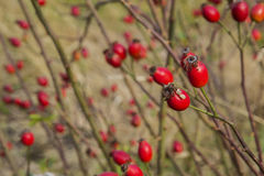 Rose Hips in Autumn. Fresh hips on bush in autumn Royalty Free Stock Images