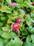 Rose hips. autumn. the gifts of nature, Orosei collector. the fruit and leaves of the wild, wild rose. Stock Photo