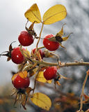The Rose Hips. Berries on a branch. Stock Image