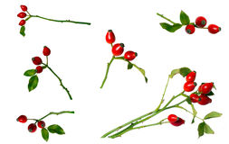 Rose-hips berry branch Stock Photos