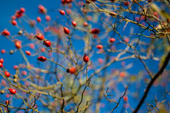 Rose Hips Blue Sky Stock Foto's