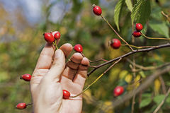 Rose Hips on Branch With Hand. Dog Roses on Green Background. Royalty Free Stock Photos