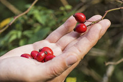 Rose Hips on Branch With Hand. Red Dog Roses on Green Background. Royalty Free Stock Photo