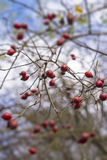 Rose Hips on Branch Selective Focus. Dog Roses on Sky Background Royalty Free Stock Photos