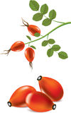 Rose hips and briar branch Stock Images
