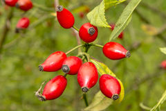 Rose hips Royalty Free Stock Photography