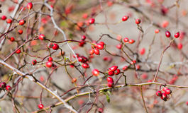 Rose hips on a bush. Without leaves, autumn Royalty Free Stock Photography