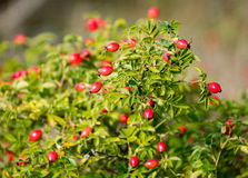 Rose hips on a bush with leaves. Rose hips on a bush with green leaves on a sunny day Royalty Free Stock Photography