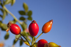 Rose hips Stock Images