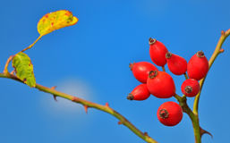 Rose hips from the bushes Royalty Free Stock Images