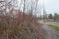 Rose hips in central square in overgrown ghost city Pripyat. Rose hips in central square in overgrown ghost city Pripyat near Chernobyl nuclear power plant in stock photo