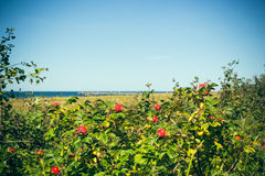 Rose hips on the coast Royalty Free Stock Photos